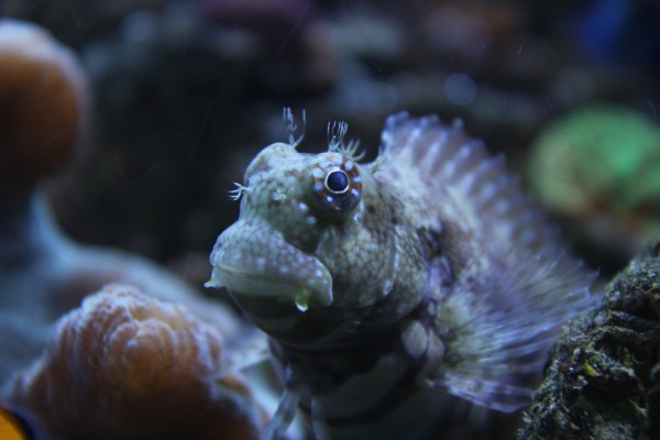 Lawnmower Blenny by Ben (faciosity)